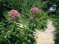 Gro�er Garten Wasserdost 'Atropurpureum' - Eupatorium fistulosum 'Atropurpureum'