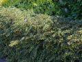 Gr�ne Heckenberberitze - Berberis thunbergii