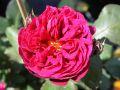 Guillot Rose 'Bicentenaire de Guillot' � - Rosa 'Bicentenaire de Guillot' �