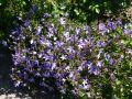 H�ngepolster-Glockenblume - Campanula poscharskyana