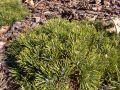 Hakenkiefer / Berg-Spirke / Aufrechte Berg-F�hre - Pinus uncinata