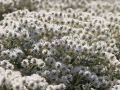 Himalaya-Perlk�rbchen - Anaphalis triplinervis