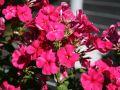 Hohe Flammenblume 'Glut' - Phlox paniculata 'Glut'