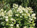 Hohe Flammenblume 'Jade' - Phlox paniculata 'Jade'