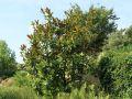Immergr�ne Magnolie 'Galissoniere' - Magnolia grandiflora 'Galissoniere'