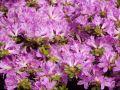 Japanische Azalee 'Diamant Himmelblau' � - Rhododendron obtusum 'Diamant Himmelblau' �