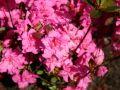 Japanische Azalee 'Petticoat' - Rhododendron obtusum 'Petticoat'