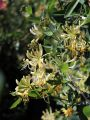 Jel�ngerjelieber / Echtes Gei�blatt - Lonicera caprifolium