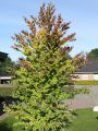 Katsurabaum / Kuchenbaum / Lebkuchenbaum - Cercidiphyllum japonicum
