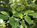 Kleeulme / Lederstrauch - Ptelea trifoliata