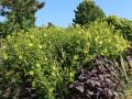 Kleink�pfige Sonnenblume 'Lemon Queen' - Helianthus microcephalus 'Lemon Queen'