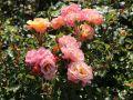 Kleinstrauchrose 'Cubana' � - Rosa 'Cubana' �
