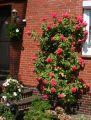 Kletterrose 'Rosarium Uetersen' � - Rosa 'Rosarium Uetersen' �