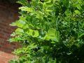 Kugel-Robinie / Kugelakazie - Robinia pseudoacacia 'Umbraculifera'