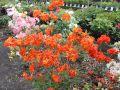 Laubabwerfende Azalee 'Orange Hit' - Rhododendron luteum 'Orange Hit'
