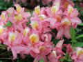 Laubabwerfende Azalee 'Pink Delight' - Rhododendron luteum 'Pink Delight'