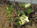 Magnolie 'Maxine Merrill' - Magnolia 'Maxine Merrill'
