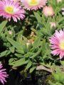 Mittagsblume 'Peach Star' - Delosperma sutherlandii 'Peach Star'