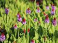 Orchideen-Primel 'Red Hot Poker' - Primula vialii 'Red Hot Poker'