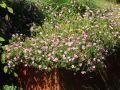 Oxford Garten Storchschnabel 'Rose Clair' - Geranium x oxonianum 'Rose Clair'