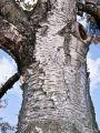 Papier-Birke - Betula papyrifera