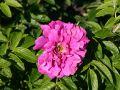 Parkrose 'Hansa' - Rosa rugosa 'Hansa'