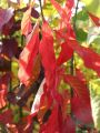 Pfaffenh�tchen / Gemeiner Spindelbaum - Euonymus europaeus