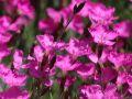 Pfingst-Nelke 'Amaranth' - Dianthus gratianopolitanus 'Amaranth'