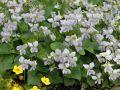 Pfingst Veilchen 'Freckles' - Viola sororia 'Freckles'