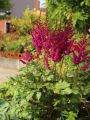 Prachtspiere 'Vision in Red' � - Astilbe chinensis 'Vision in Red'  �