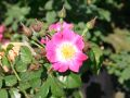 Ramblerrose 'American Pillar' - Rosa 'American Pillar'
