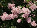 Ramblerrose 'Bonny' � - Rosa 'Bonny' �