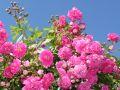 Ramblerrose 'Super Dorothy' � - Rosa 'Super Dorothy' �