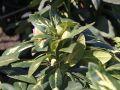 Rhododendron 'Goldflimmer' - Rhododendron Hybride 'Goldflimmer'
