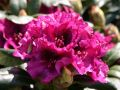 Rhododendron 'Plum Beauty' - Rhododendron Hybride 'Plum Beauty'