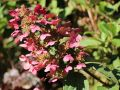 Rispenhortensie 'Magical Fire' � -S- - Hydrangea paniculata 'Magical Fire' � -S-
