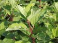 Rispenhortensie 'Vanille-Fraise' � - Hydrangea paniculata 'Vanille-Fraise' �