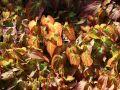 Rote Elfenblume - Epimedium x rubrum