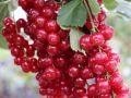 Rote Johannisbeere 'Rolan' - Ribes rubrum 'Rolan'