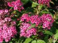 Rote Sommerspiere 'Anthony Waterer Sapho' - Spiraea bumalda 'Anthony Waterer Sapho'