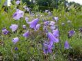 Rundbl�ttrige Glockenblume 'Olympica' - Campanula rotundifolia 'Olympica'