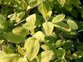 Salbei 'Aurea' - Salvia officinalis 'Aurea'