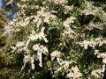 Schattengl�ckchen 'Little Heath' - Pieris japonica 'Little Heath'