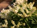 Schattengl�ckchen 'Sarabande' - Pieris japonica 'Sarabande'