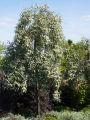 Schmalbl�ttrige �lweide - Elaeagnus angustifolia