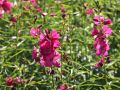 Schmuckmalve 'Brillant' - Sidalcea oregana 'Brillant'