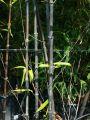 Schwarzer Bambus - Phyllostachys nigra