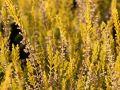 Sommerheide / Besenheide 'Cottswood Gold' - Calluna vulgaris 'Cottswood Gold'
