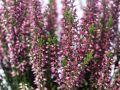 Sommerheide / Besenheide 'Lara' -S- - Calluna vulgaris 'Lilli' / 'Lara' -S-