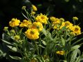Sonnenbraut 'Double Trouble' � - Helenium x cultorum 'Double Trouble' �